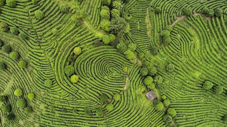 Aerial view of Tea fields