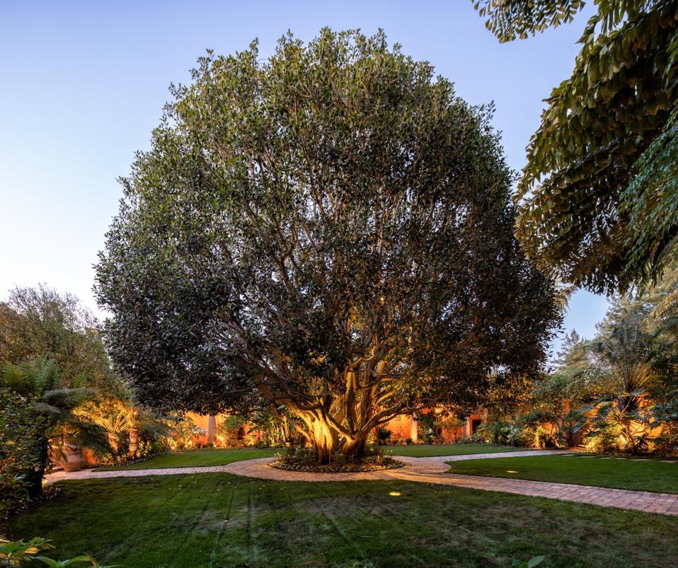 Ficus tree trophy at rancho santa fe villa nafissa estate