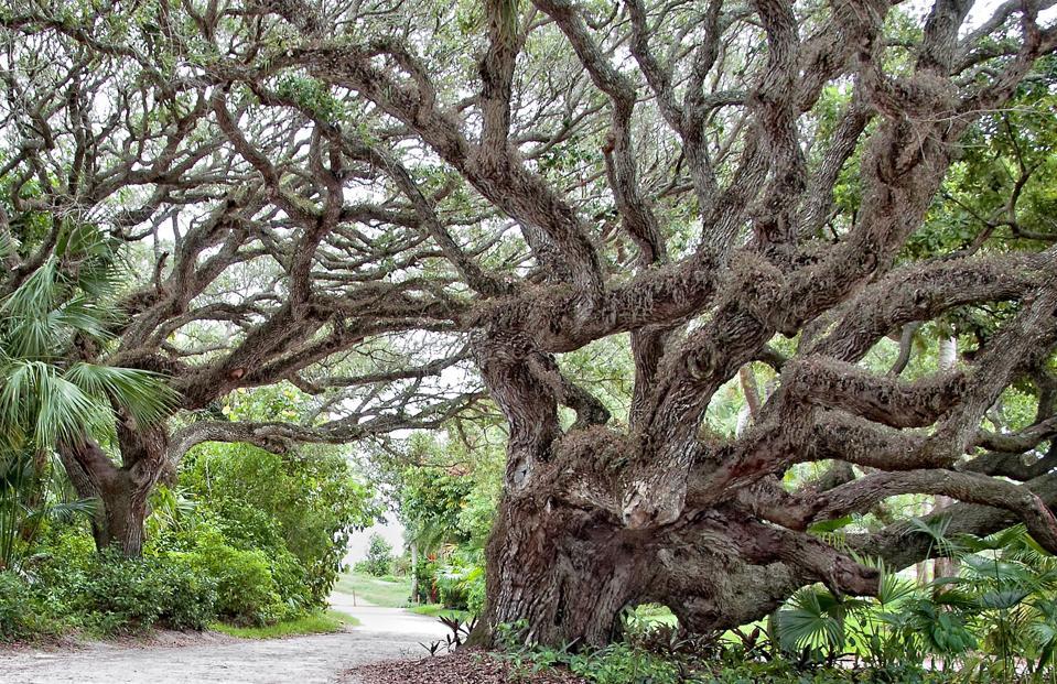 Oak Trees in riomar vero beach florida neighborhood