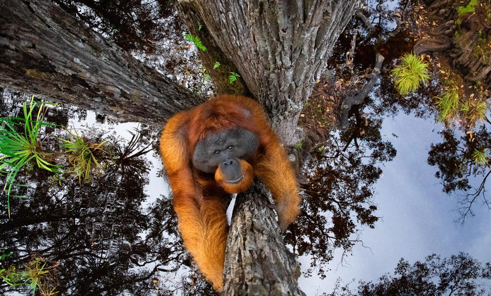 An orangutan climbs a tree in Borneo, the sky and canopy reflected in the water below