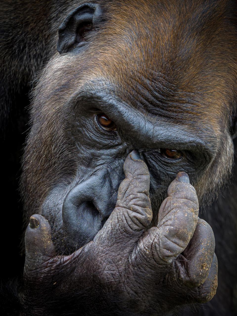 Portrait of Kangu a western lowland gorilla.