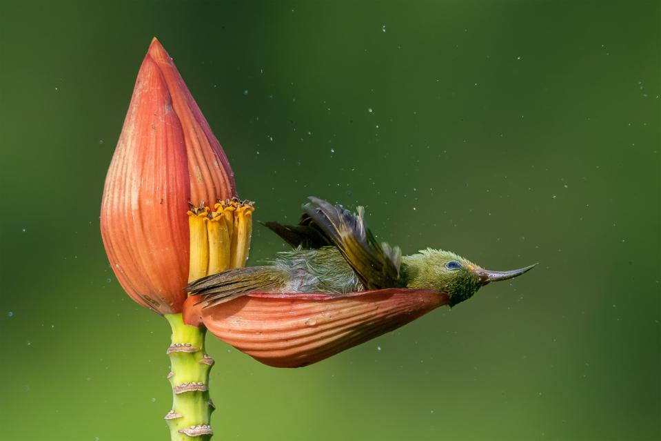 A crimson sunbird bathes in the dew captured by a banana flower.
