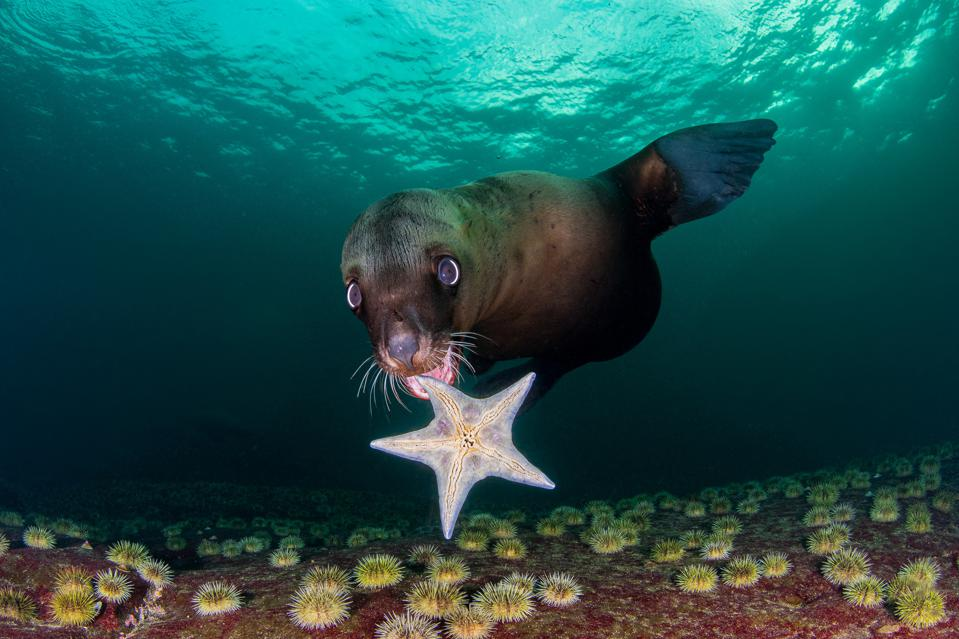 A Steller sea lion plays with a starfish near Hornby Island, Canada.