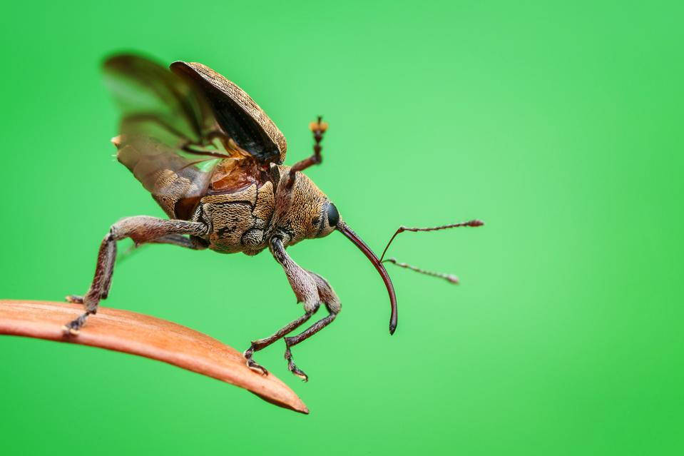 An acorn weevil readies itself to fly.