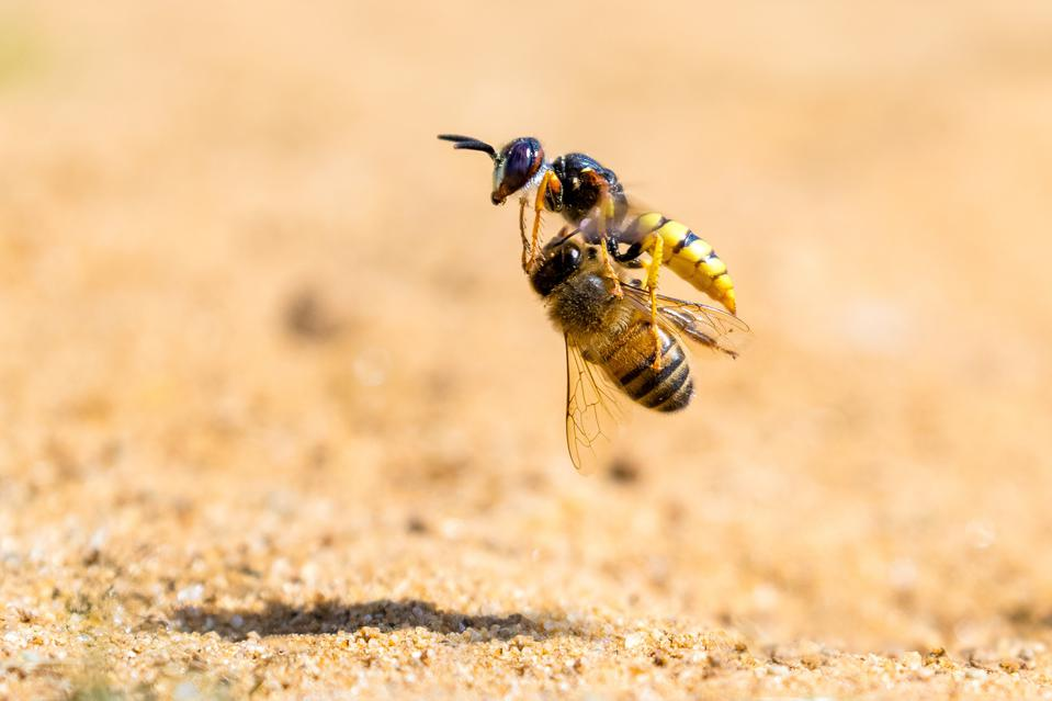 A solitary bee wolf wasp claims another victim, a honey bee.