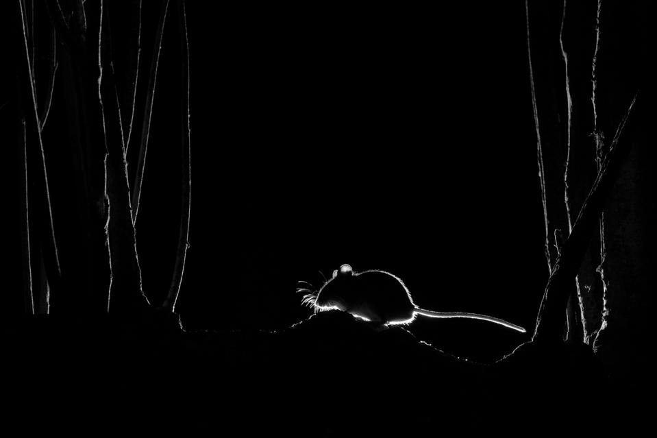 Silhouetted wood mouse.