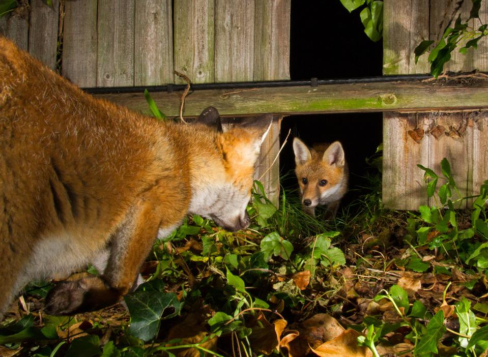 A family of foxes in a garden.