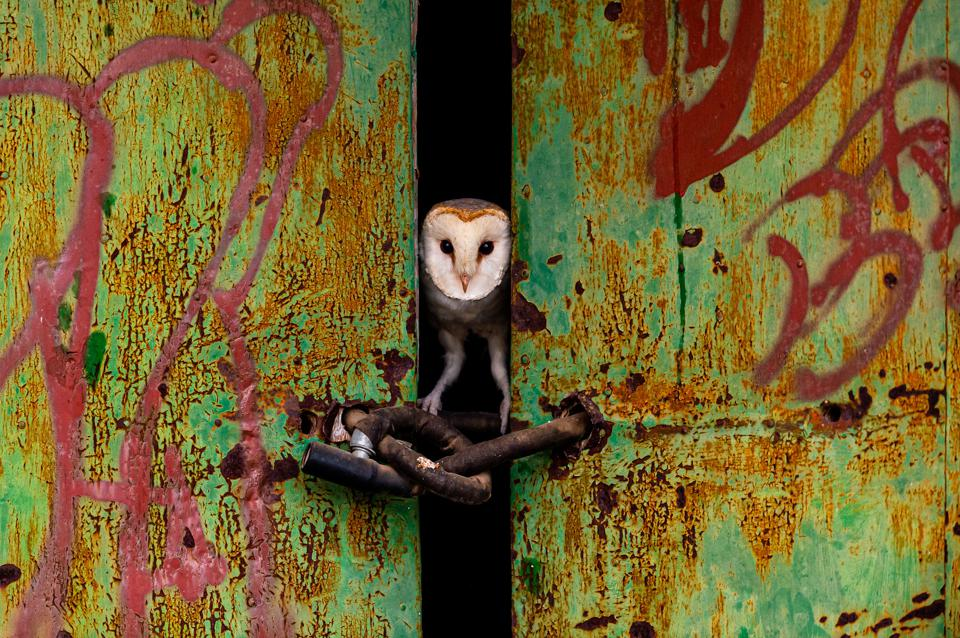 A barn owl peering through the door of an abandoned house.