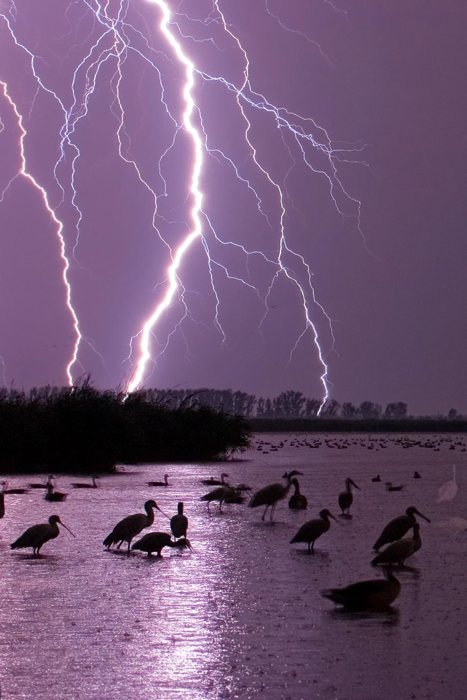 Wading birds illuminated by flashes of forked lightning.