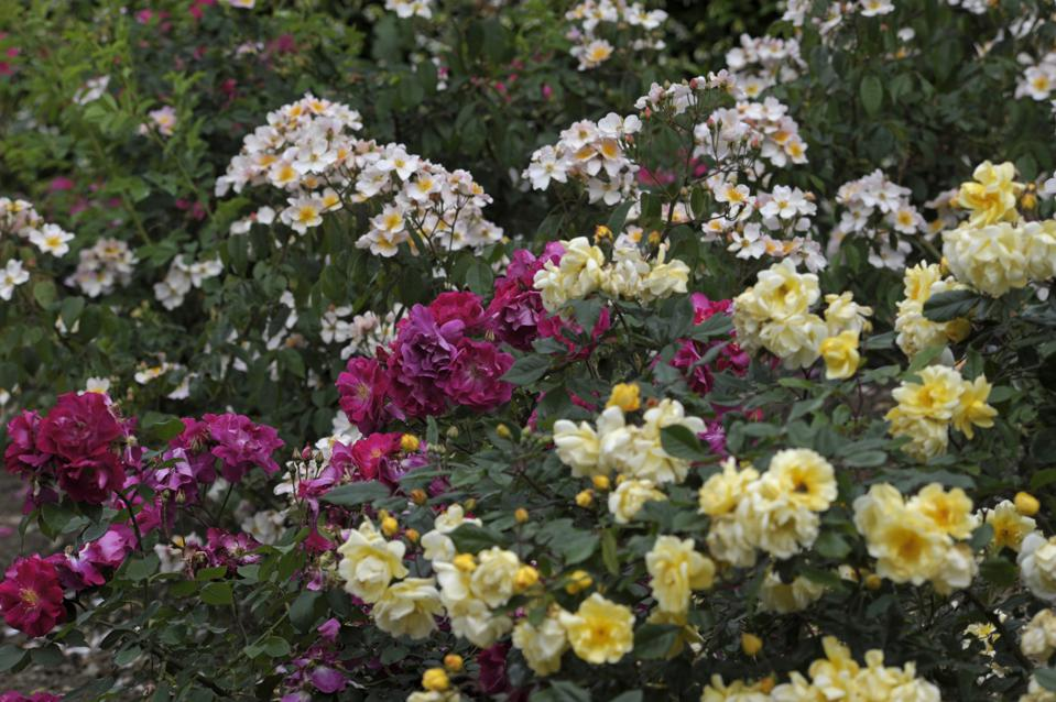 A flowering rose garden. Rose is a key scent in the Science of Wellness.