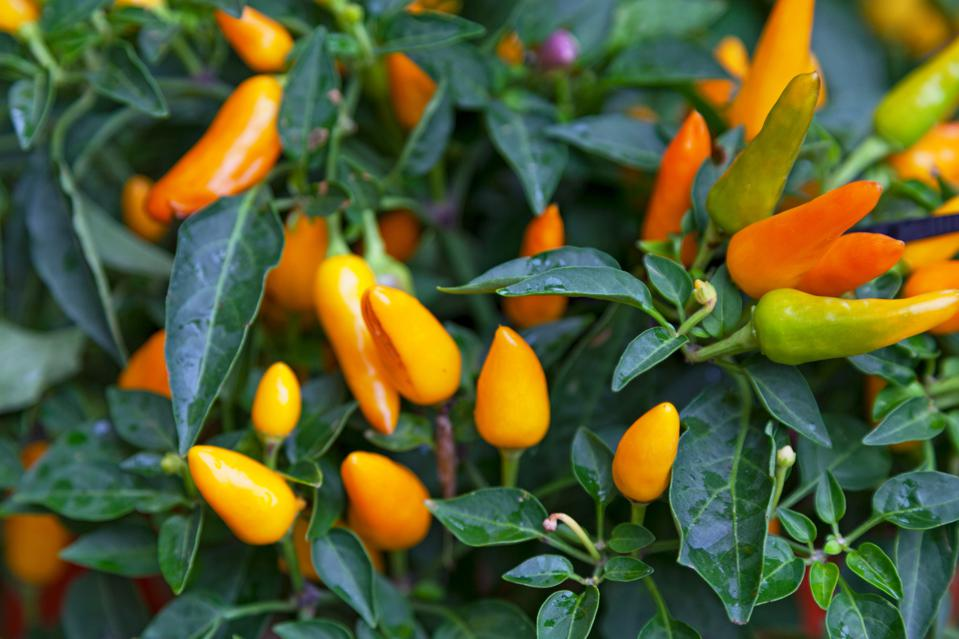 On a plant with dark green leaves, many small, chili peppers of varying growth length and in varying shades of yellow-orange.