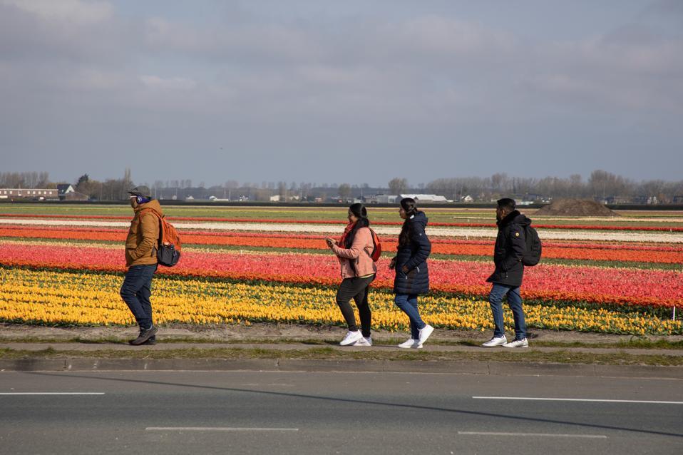 Flowering Tulip Fields In The Netherlands