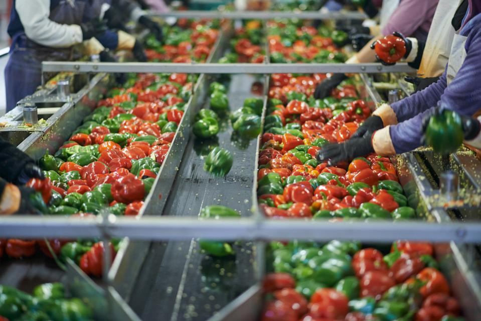 Sorting vegetables on a conveyor belt.