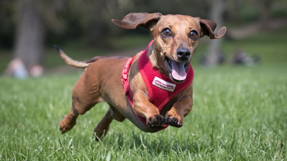 A dachshund chases a ball