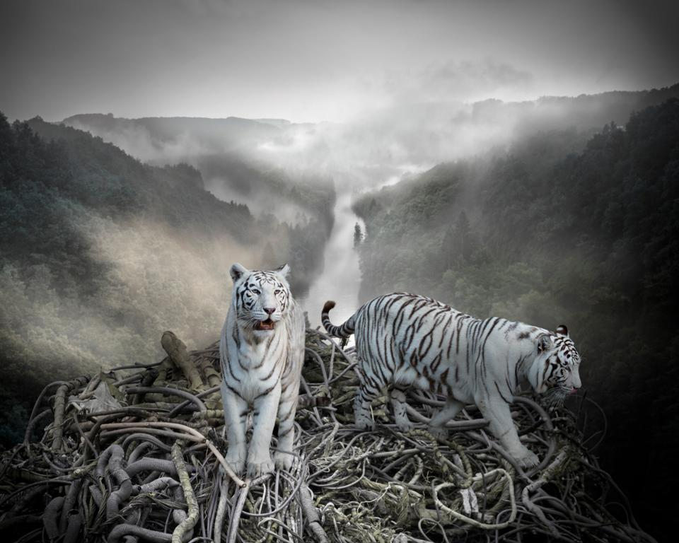 Two albino (white) tigers