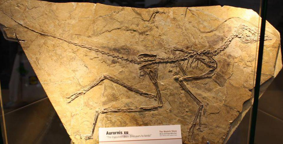 The dinosaur Aurornis xu from the Cretaceous period of China displays along bird-like elements in the skeleton also traces of feathers on forelegs and tail.