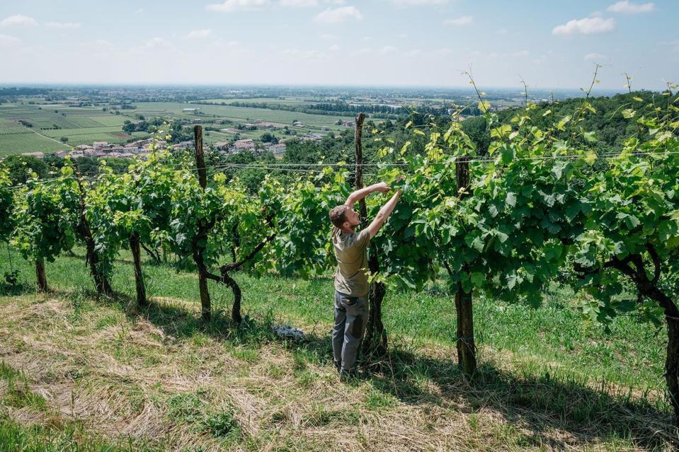 Before the harvest, Bresolin bio, Crespignaga di Maser, Province of Treviso, Veneto