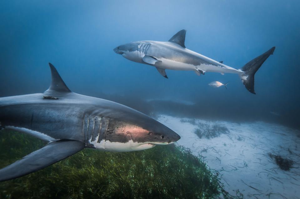 Two great white sharks swim at the bottom of the ocean, taken at The Neptune Islands, South Australia, June 2014.
