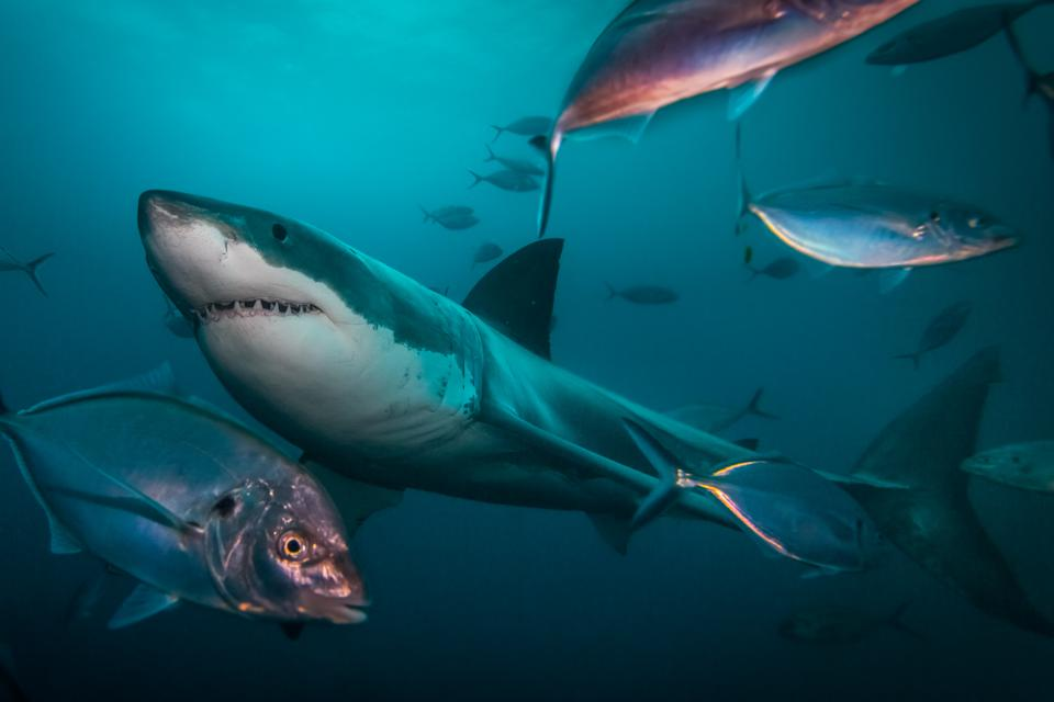 A great white shark swims besides a shoal of fish. The Neptune Islands, Australia.