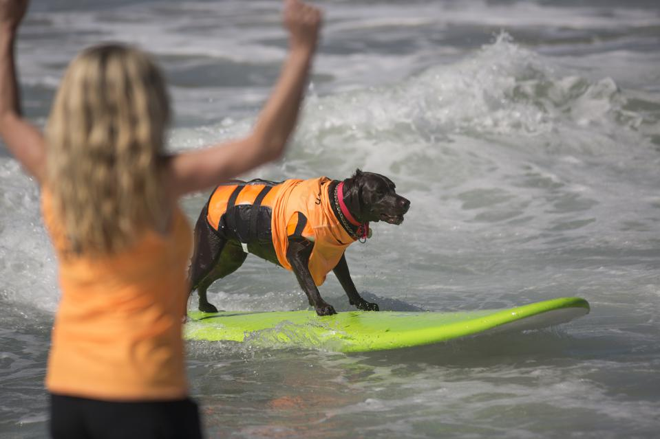 A Hound Hangs Ten At Annual Dog Surfing Competition