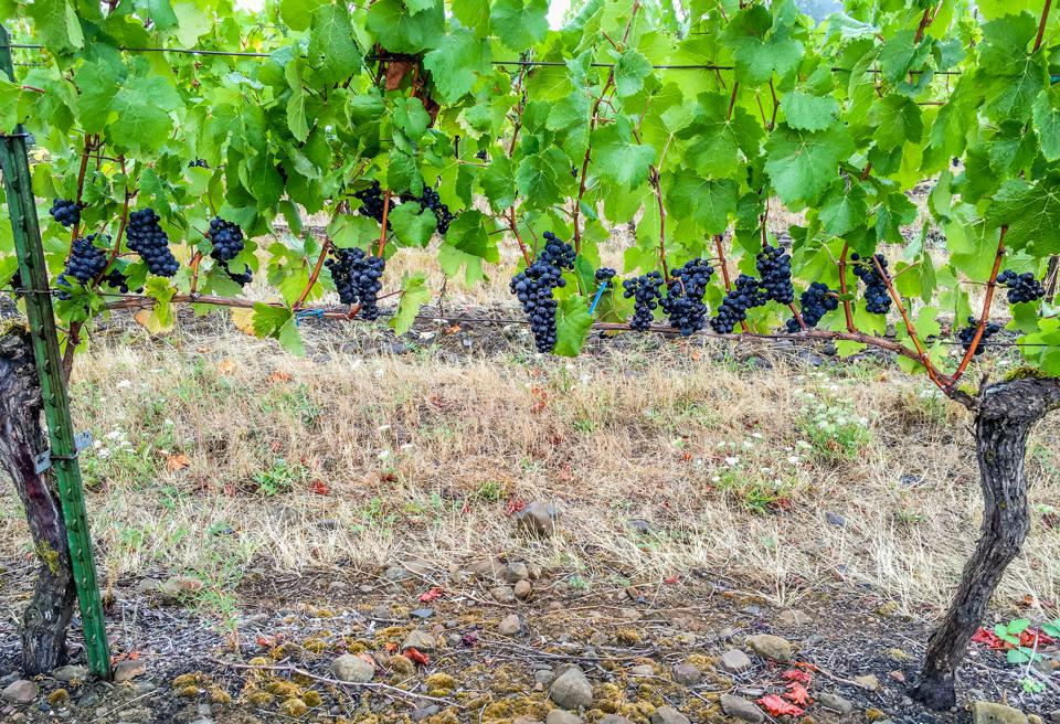 Photograph of Ripe Pinot Noir Clusters on Vine - Stock