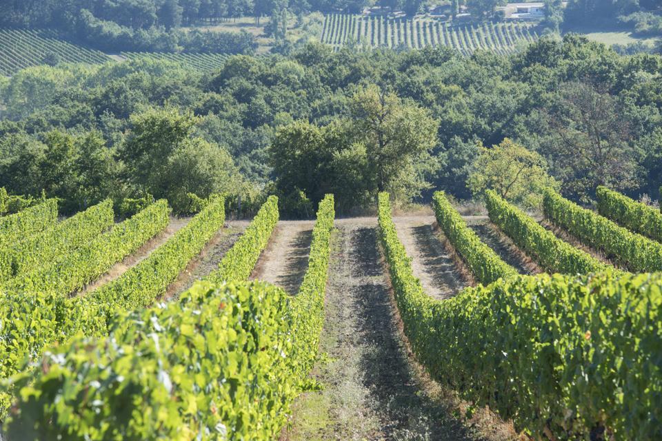 Vines in Bergerac wine region
