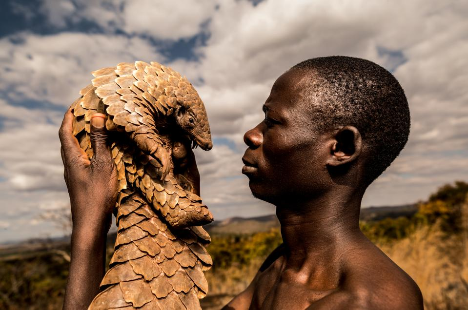 Zimbabwean charity protects pangolins, the world's most trafficked mammal.