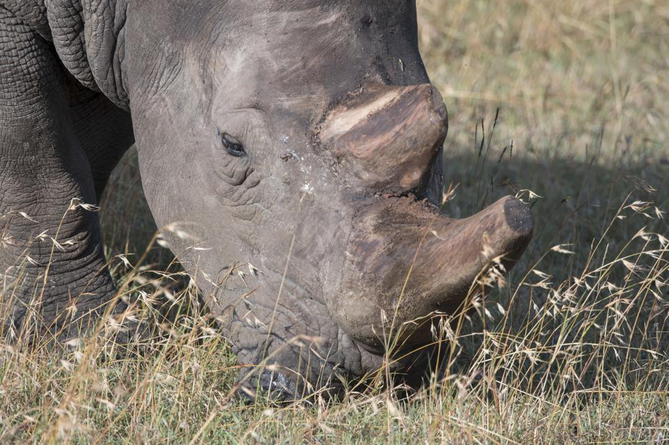 Close-up of an endangered white rhinoceros or square-lipped...
