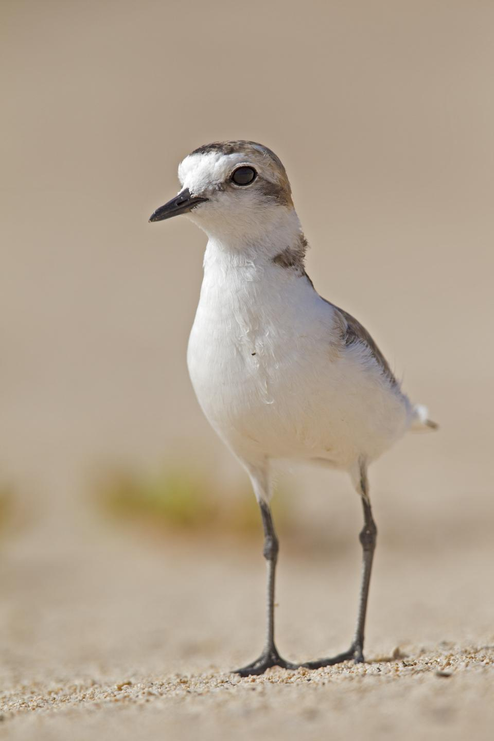 A ketish plover, which may be negatively effected by the bleaching of the beach in Spain.