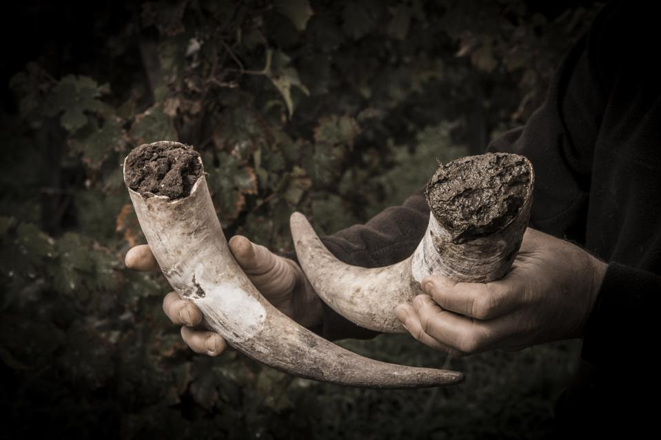 Filling cow horns with manure to make biodynamic in vineyards
