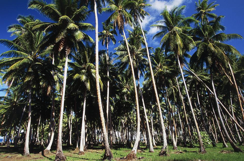 Climate-Smart Coconut Agriculture Could Be The Caribbean's Tree Of Life