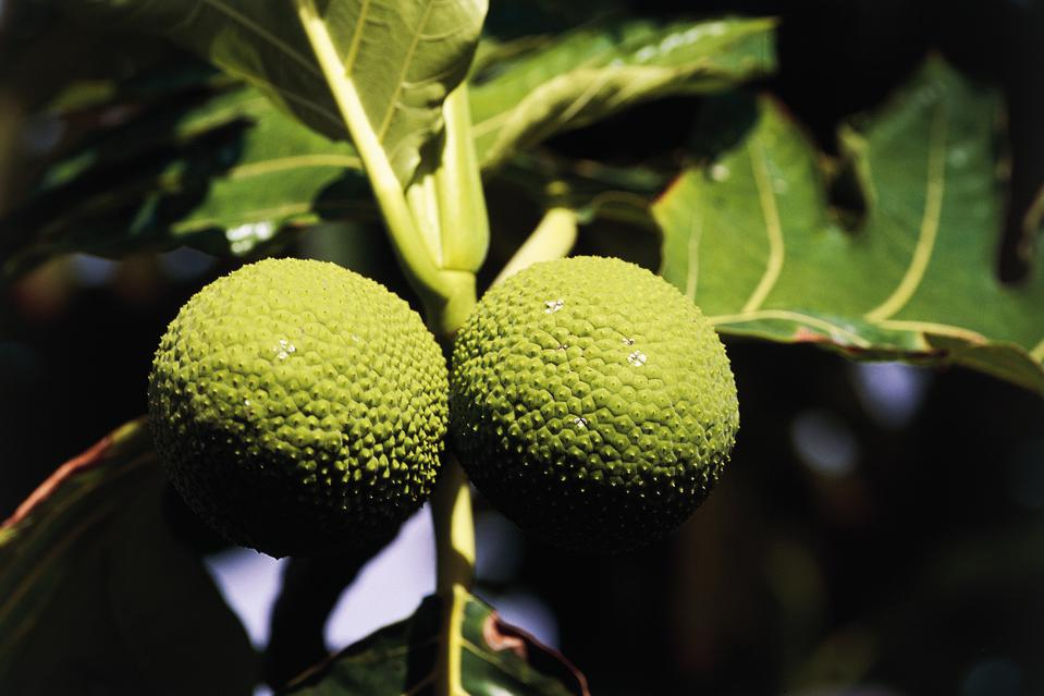 Fruit of breadfruit tree