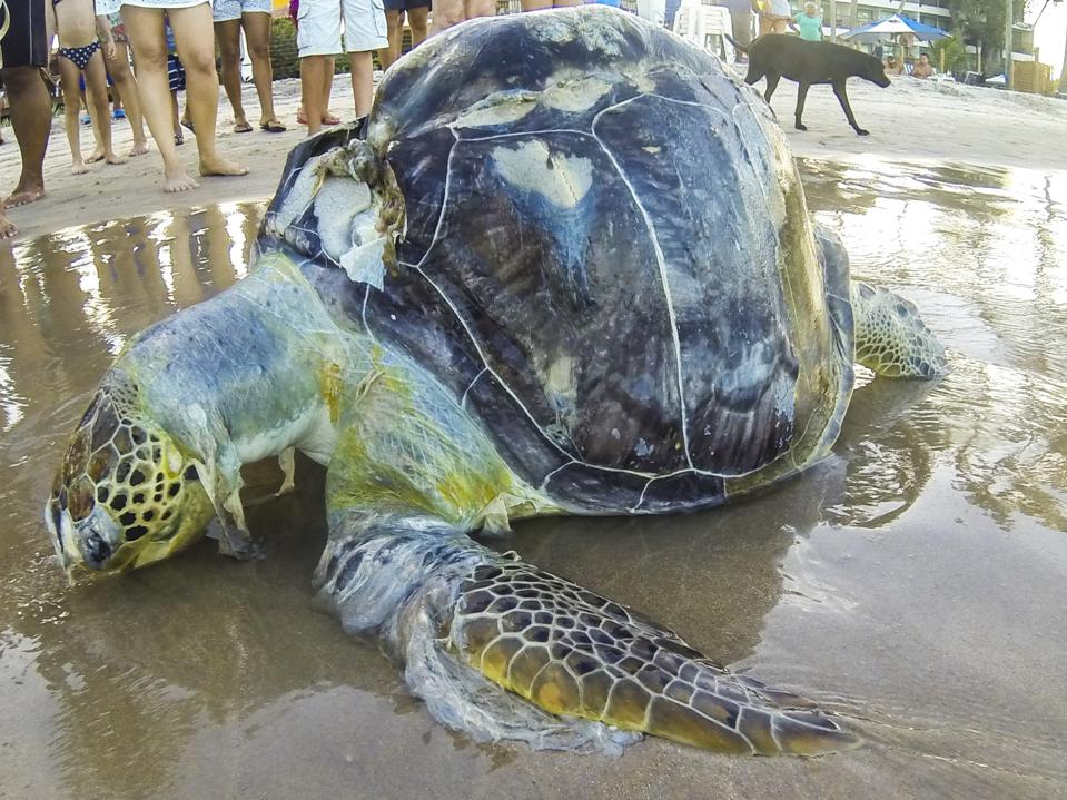Dead Turtle Wrappde in Plastic Appears at Porto de Galinhas