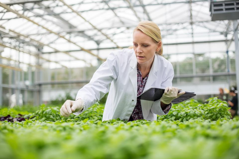Scientist inspecting plants