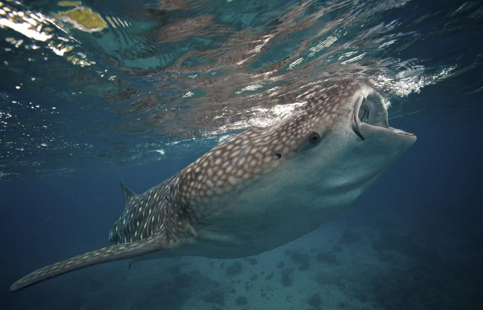 Whale shark feeding in the Bohol Sea, Philippines