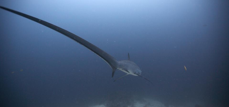 Pelagic thresher shark (Alopias pelagicus) at Monad Shoal, Philippines