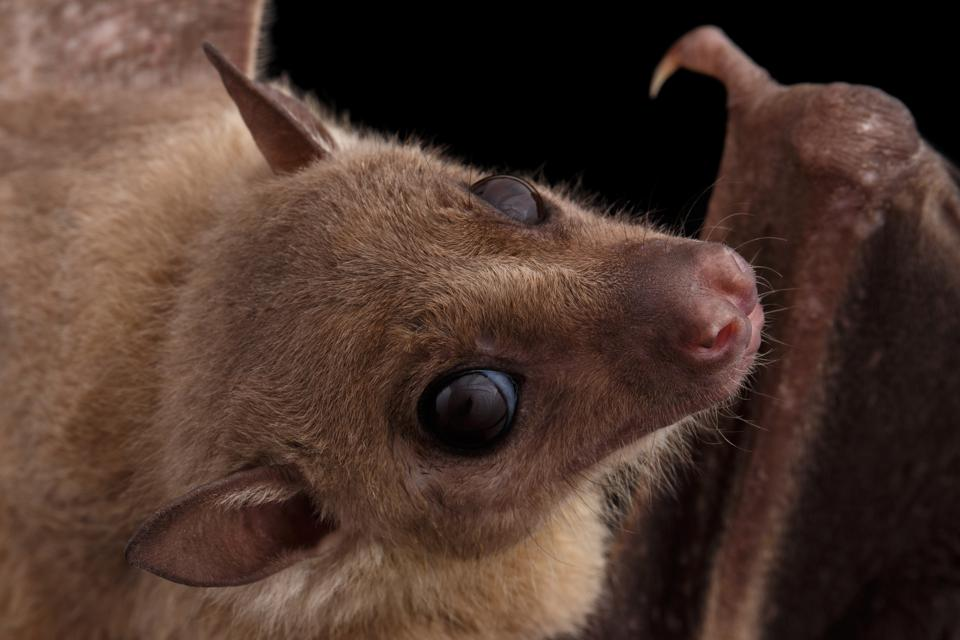 Egyptian fruit bat or rousette, black background
