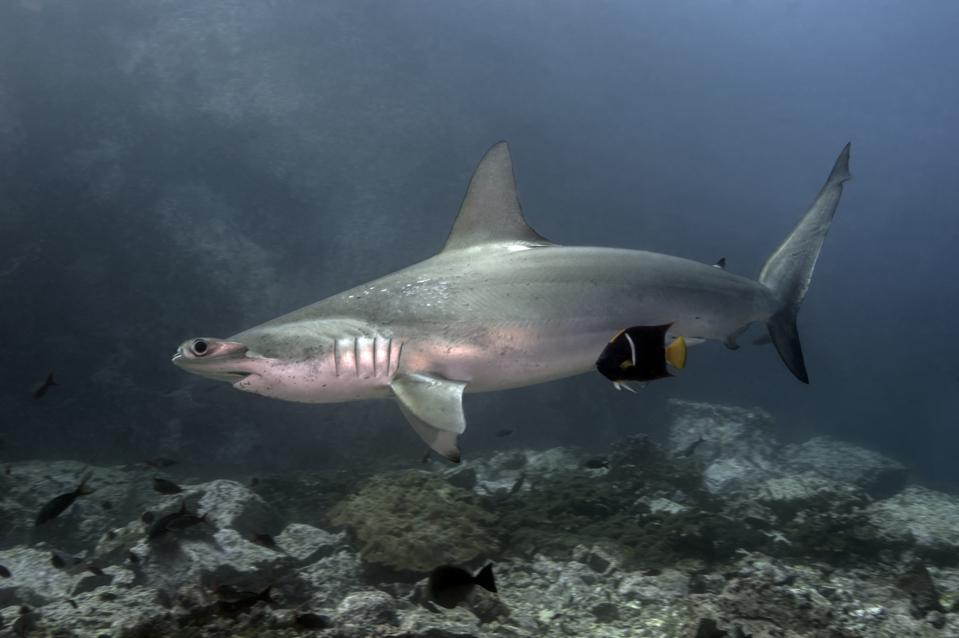 SCALLOPED HAMMERHEAD SHARK CLEANED BY A BARBERFISH