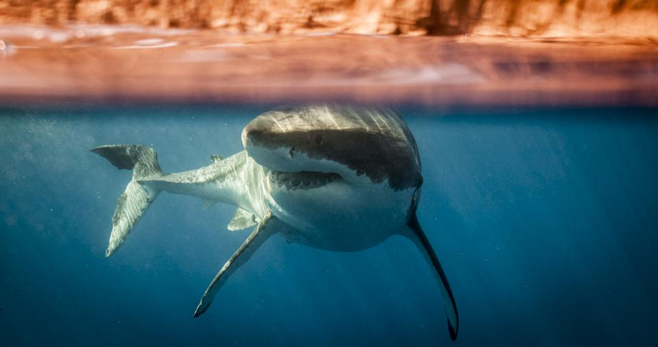 Great white shark swimming in Guadalupe Island