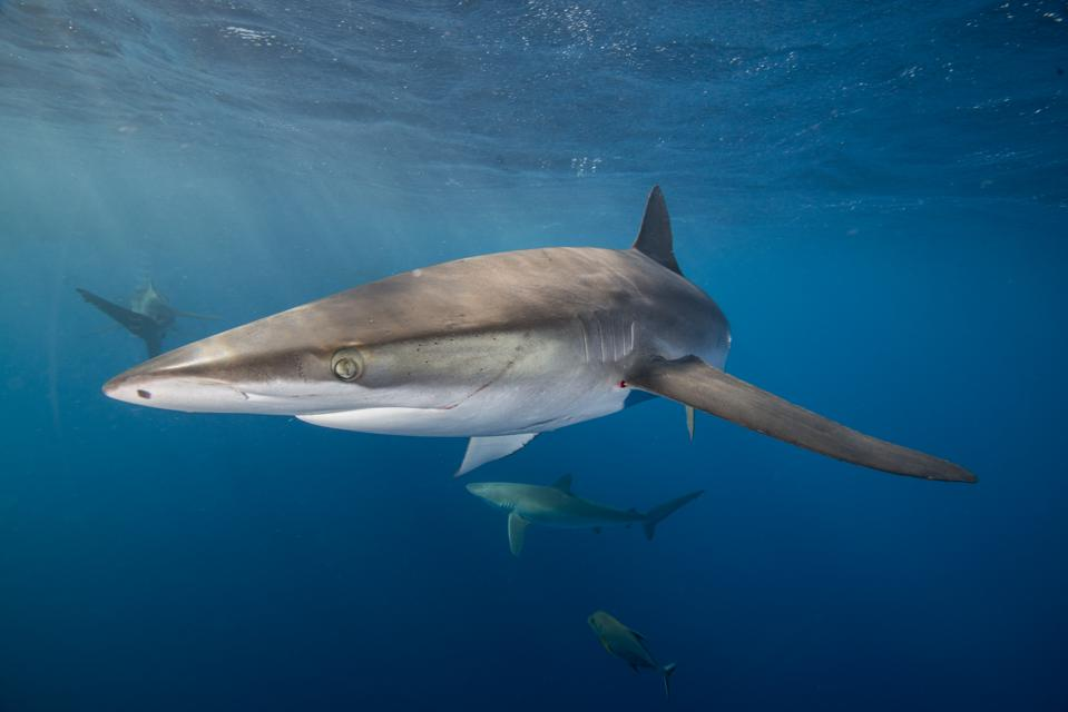 Underwater view of silky shark (carcharhinus falciformis) San Benedicto, Revillagigedo, Colima, Mexico