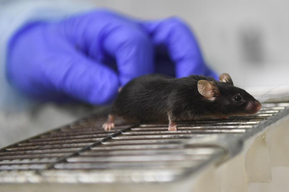 Mice Brains May Be Too Different From Humans' To Be Accurate Research Model, Study Says