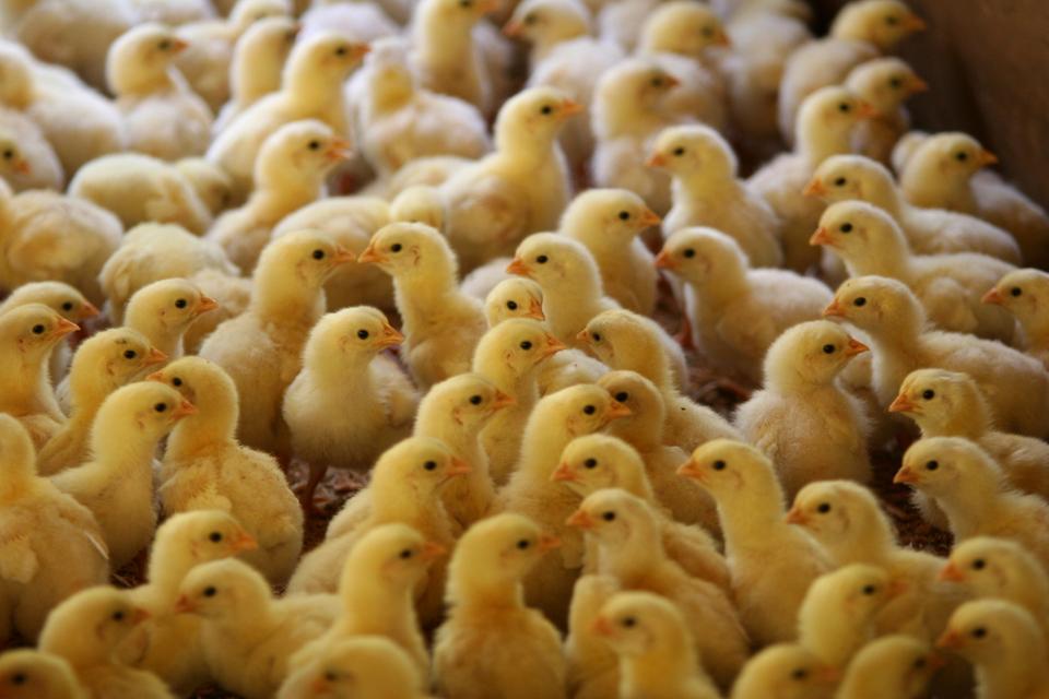 Chick babe farm Salmonella outbreak CDC