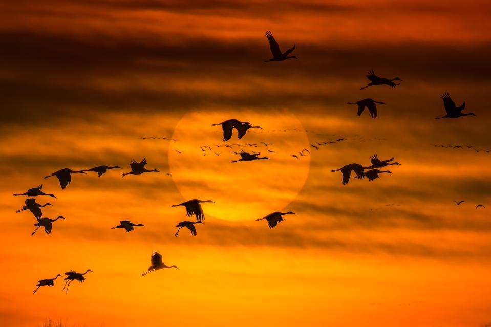 Sandhill Cranes (Grus canadensis) in flight against the setting sun near Wood River, Nebraska