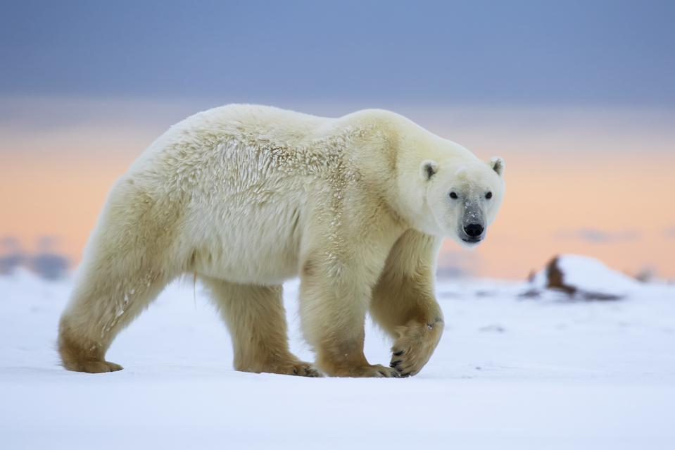 Walking With Wild Polar Bears: How A Dramatic, Arctic Safari Will Change Your Life Forever