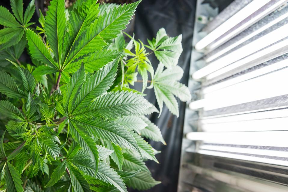 Growing pot in a closet, marijuana, weed, weed grow house