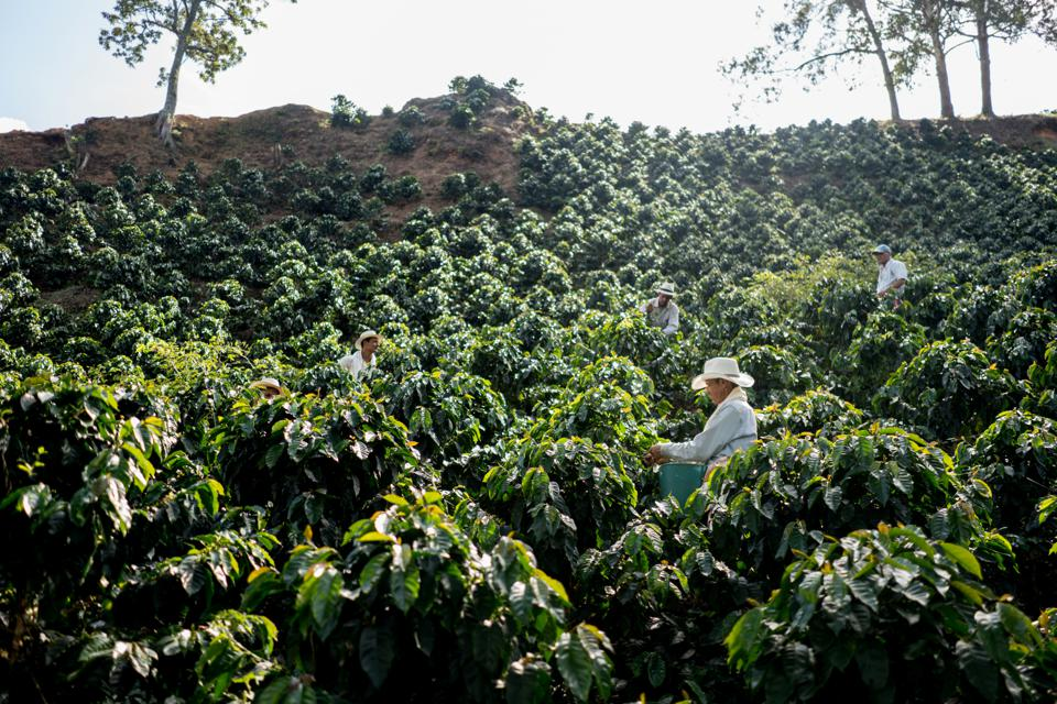 Farmers working at a coffee farm collecting coffee beans