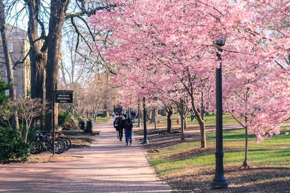 Spring Cherry Blossoms at UNC-Chapel Hill