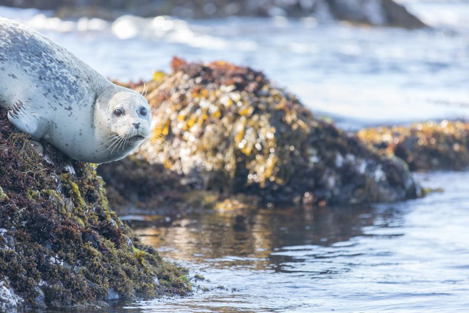 Spotted Adult Harbor Seal (Phoca vitulina) hanging on a rock.