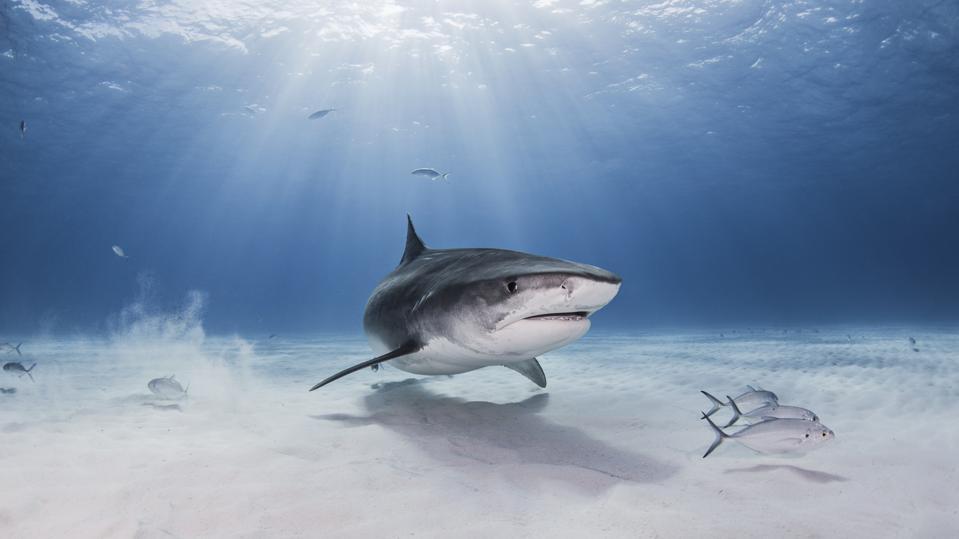 Vista subacquea di squalo tigre, Nassau, Bahamas