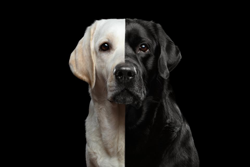 Portrait of Two-faced Labrador Dog